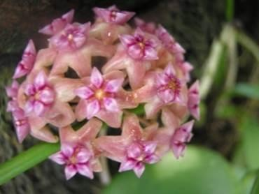 The dominant trees are Altingia excelsa, Castanopsis javanica dan Lithocarpus indutus). Morfologi (Morphology) Bunga ungu muda. Daun ovate. Panjang ruas batang 3-33,2 cm. (Light purple flower.